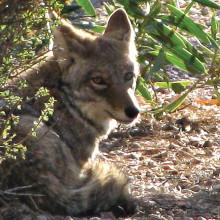 A coyote in PebbleCreek