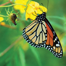 Monarch butterflies seek out essential milkweed during their biannual migration between northern and southern habitats. Photo courtesy of William Vann.